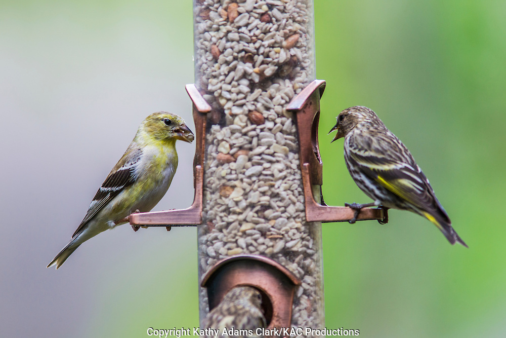 American Goldfinch and Pne Siskin at Feeder in The Woodlands, Texas in spring.