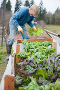 Gardener harvest greens from the cold frame in his garden.