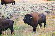 Buffalo in the Lamar Valley in Yellowstone National Park.