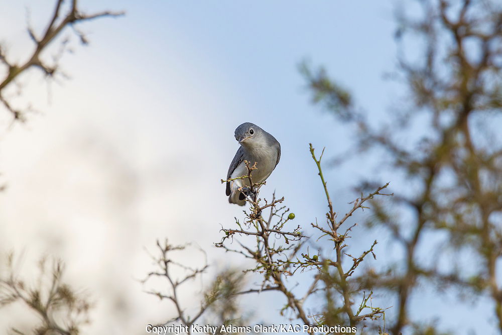 blue-gray gnatcatcher, Polioptila caerulea, San Jose Ranch, near Laredo, Texas.