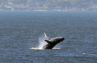 As seen from the cliffs at Marina State Beach on Saturday, a humpback whale breaches in Monterey Bay on October 4th. A number of amateur whale observers in Marina were delighted by enthusiastic tail-slapping and lunge-feeding from whales enjoying an anchovy and sardine bounty.