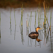 "The little grebe (Tachybaptus ruficollis), also known as dabchick, is a member of the grebe family of water birds. The genus name is from Ancient Greek takhus ""fast"" and bapto ""to sink under""."