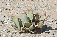 A beavertail cactus in the Sonoran Desert just outside of Palo Verde in Southern California.