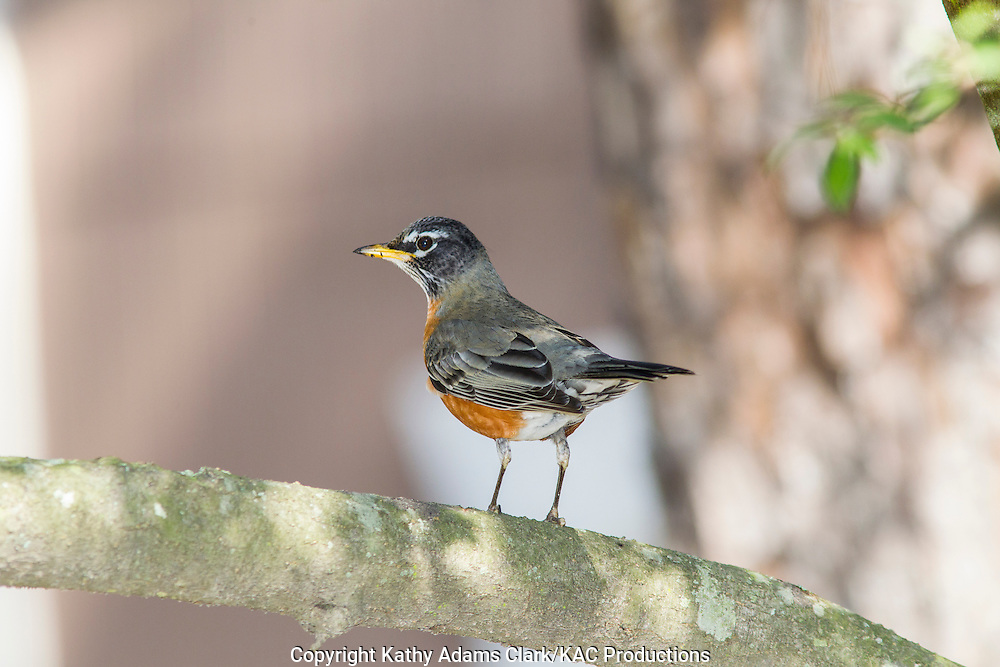 American Robin perched on a branch, in the winter, The Woodlands, Texas