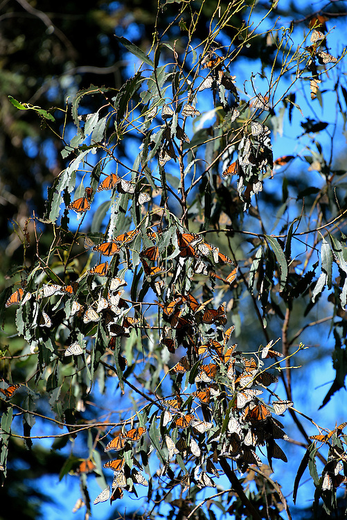 Cluster of Monarch Butterflies in Grove at Pismo Beach, California<br />