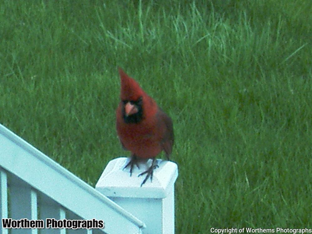 A cardinal sitting on a railing.