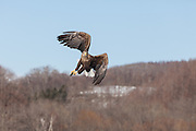 White-tailed Eagle flying with fish