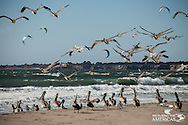 Pelicans and Kites at Waddell Beach, California