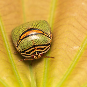 Plataspidae are a family of shield bugs native to the Old World. Shield bugs (Pentatomidae) are a family of insects belonging to the order Hemiptera, which are generally called stink bugs or shield bugs