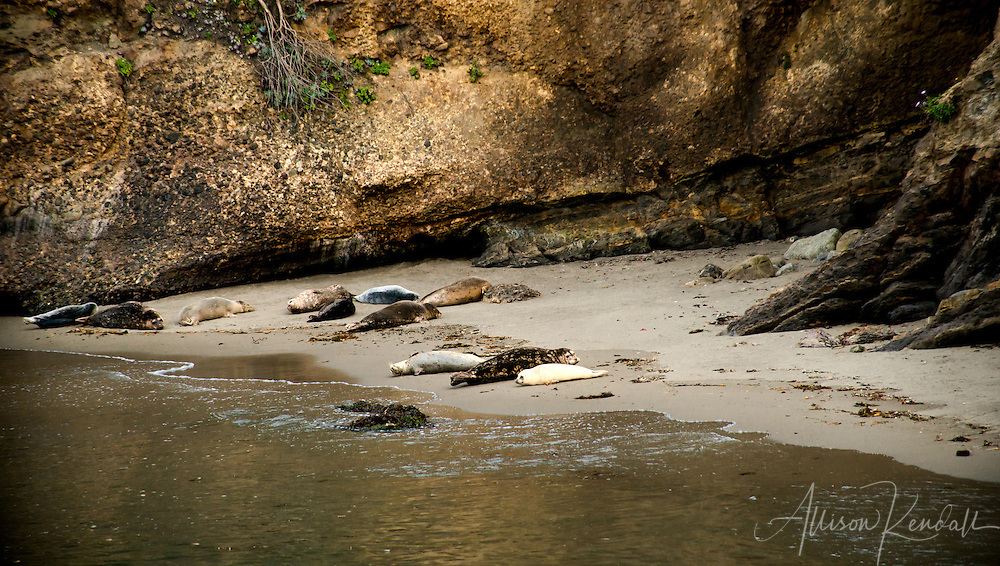 Pacific harbor seals (Phoca vitulina) and their young springtime pups rest on the beach and play in the sheltered water of Point Lobos State Natural Reserve, in Monterey, California <br />