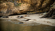 Pacific harbor seals (Phoca vitulina) and their young springtime pups rest on the beach and play in the sheltered water of Point Lobos State Natural Reserve, in Monterey, California <br /> <br /> More about the harbor seals on the blog: https://goo.gl/ZPL3GF