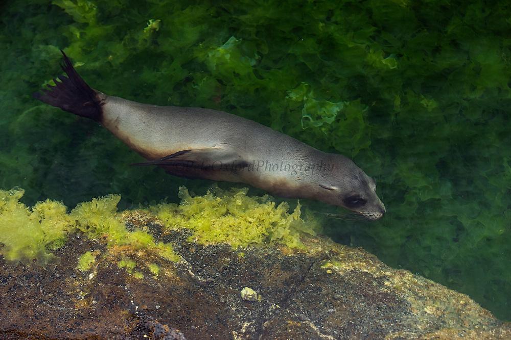 Galapagos Sealion (Zalophus wollebaeki) <br /> Espinosa Point<br /> Fernandina<br /> Ecaudor<br /> GALAPAGOS
