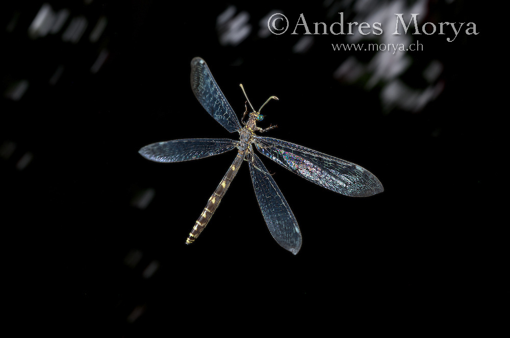 Antlion in Flight (Euroleon nostras), Neuroptera, France<br /> <br /> Insects in flight, high speed photographic technique, flying, wings, motion, insect Image by Andres Morya