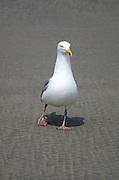 A Herring Gull investigates the camera.