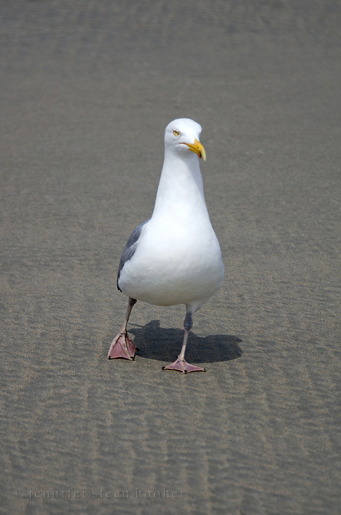 A Herring Gull investigates the camera.