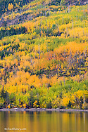 Multi colored aspen grove in peak fall colors reflect into Lower St Mary Lake near St Mary Montana