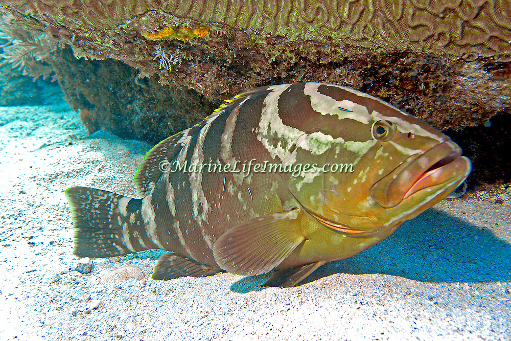 Nassau Grouper inhabit reefs in Tropical West Atlantic; picture taken Key Largo, FL.