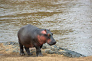 hippo near beach