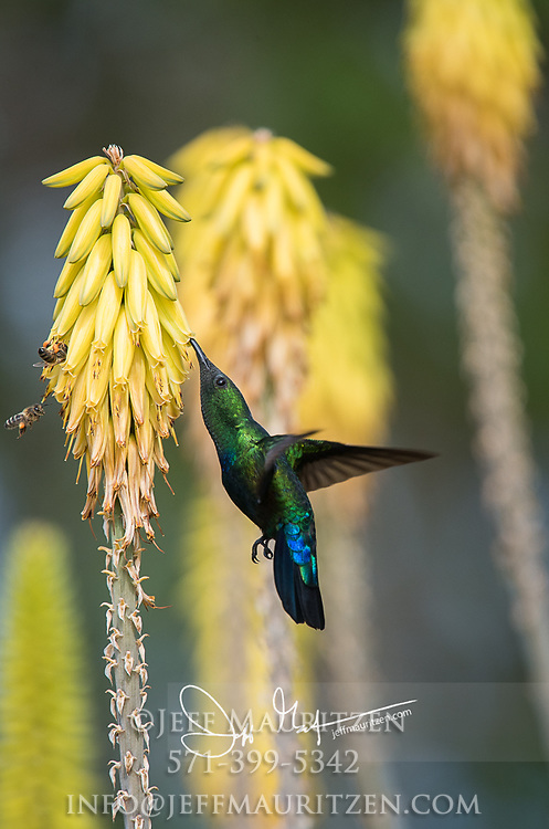 A Green-throated carib looks for nectar in a yellow flowering plant.