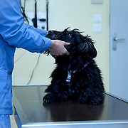 Scottish Terrier (also known as the Aberdeen Terrier) looking at veterinarian.
