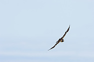 Short-tailed Hawk (Buteo brachyurus) female in flight, approaching nest; Arizona