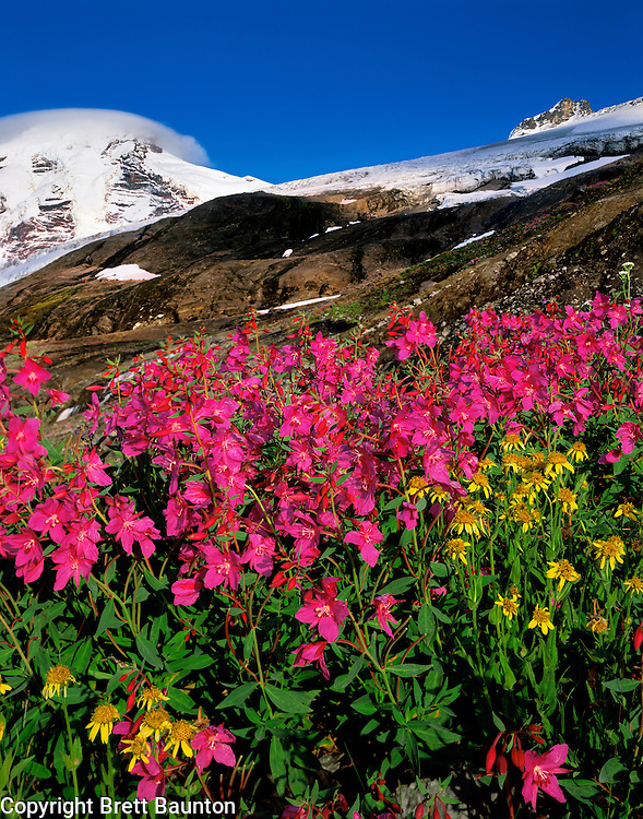 Mt. Baker, Fireweed and Arnica Wildflowers, Heliotrope Ridge, Coleman Glacier