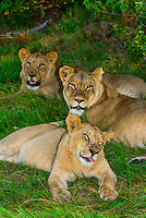 Mother lion and her daughters, Kwara Camp, Okavango Delta, Botswana.