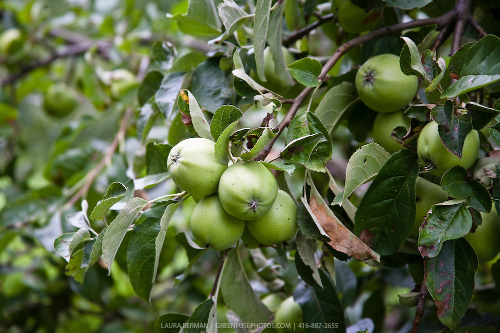 Green apples ripening on a tree.
