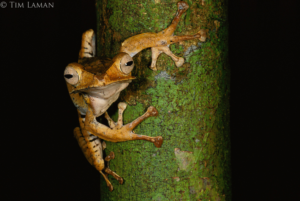 Close-up of a file-eared tree frog on the trunk of a tree.