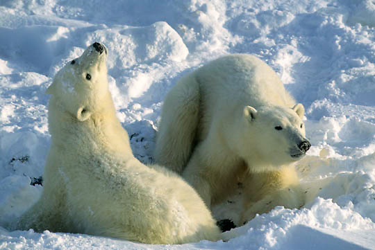 Polar Bear, (Ursus maritimus) Two bears. Churchill, Manitoba. Canada.