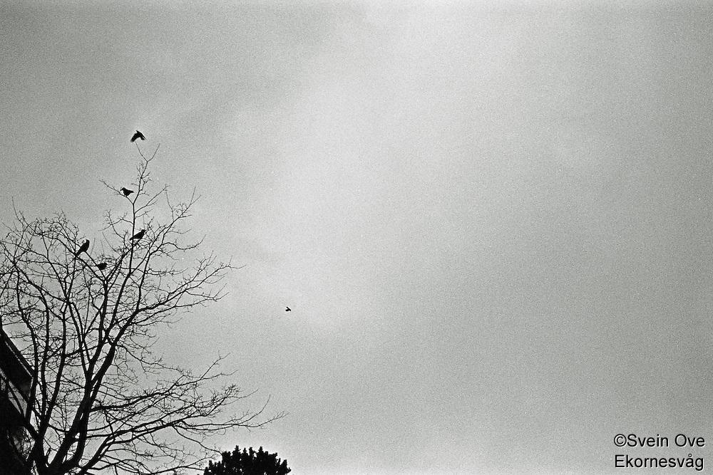 Ålesund 20111113. En flokk med kråker sitter i et tre ved Molja i Ålesund.<br /> Foto: Svein Ove Ekornesvåg