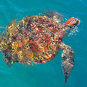 Thai Turtle in the blue water
