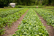 Wide horizontal shot of vegetable field.