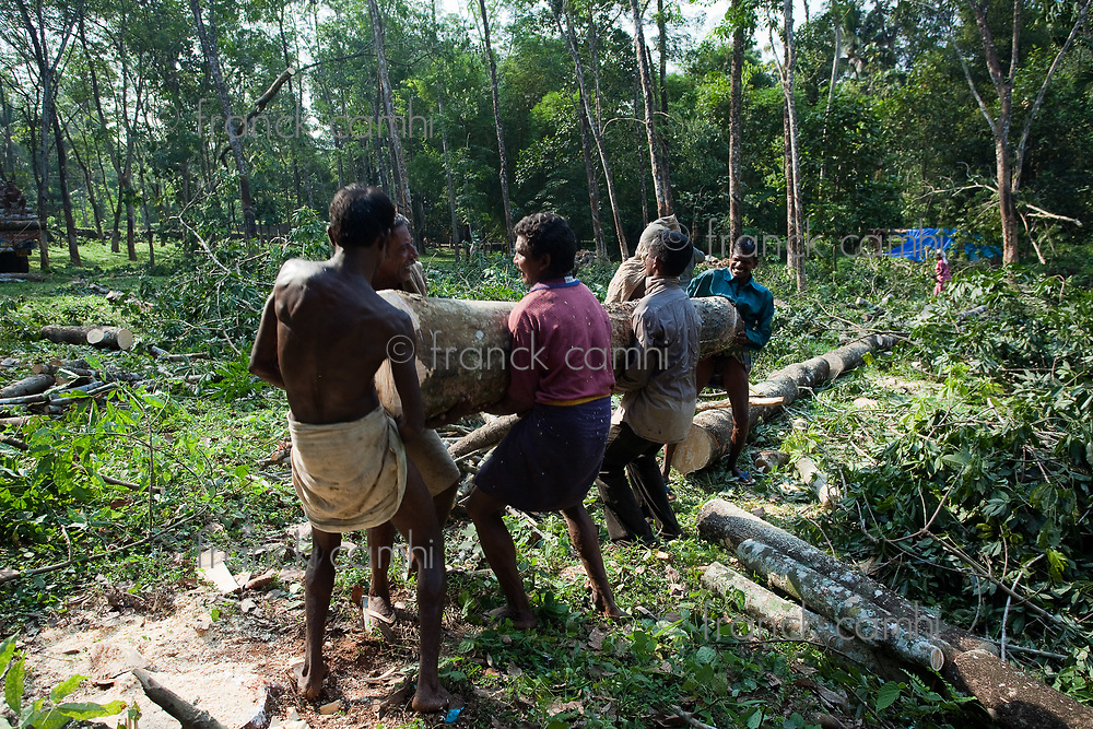 Plantation Tree Harvesting in forest in  Kerala state india