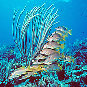 Schoolmaster inhabit reefs in Tropical West Atlantic; picture taken Little Cayman.
