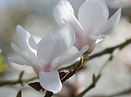 Magnolia sprengeri 'Diva' at Kew Gardens, London, UK