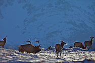 Bugling Bull Elk and his harem in Waterton Lakes National Park
