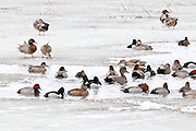 Gadwall, Ring-necked Duck, Redhead, Brewer's Duck, Anas strepera (x platyryhnchos) Aythya collaris, Aythya americana, Brown County, South Dakota