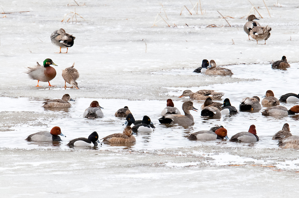 Gadwall, Ring-necked Duck, Redhead, Brewer's Duck, Anas strepera (x platyryhnchos) Aythya collaris, Aythya americana, Brown County, South Dakota