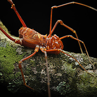 An inhabitant of montane cloud forest, this unusual harvestman (Phareicranaus curvipes) possesses claw-like pedipalps for securing prey. Henri Pittier National Park, Venezuela.