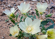 A creamy white flower with yellow center blooms at Callville Bay, Lake Mead National Recreation Area, Nevada, USA. Formation of Lake Mead began in 1935, less than a year before Hoover Dam was completed along the Colorado River. The area surrounding Lake Mead was established as the Boulder Dam Recreation Area in 1936. In 1964, the area was expanded and became the first National Recreation Area established by US Congress. Three desert ecosystems meet in Lake Mead NRA: Mojave Desert, Great Basin Desert, and Sonoran Desert.