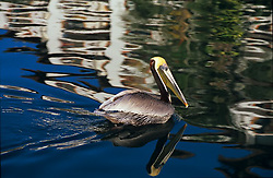 Stock photo of a Brown Pelican (Pelecanus occidentalis) on the water