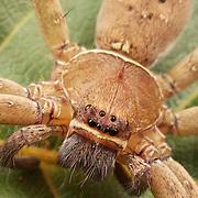 Huntsman spider (Sparassidae) in Kaeng Krachan National Park, Thailand.