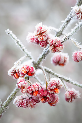 Hoar frost on Spindle berries. Euonymus europaeus