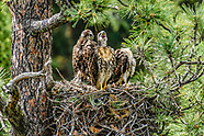 Red-tailed Hawk Family Series - 2014