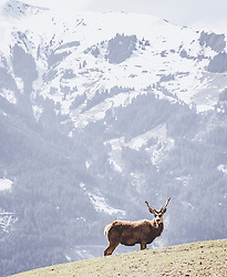 THEMENBILD - ein Rothirsch auf einer Wiese in einem Wildtiergehege, aufgenommen am 07. März 2019 in Aurach, Oesterreich // a Red deer in a meadow in a wild animal enclosure in aurach, Austria on 2019/03/07. EXPA Pictures © 2019, PhotoCredit: EXPA/ JFK