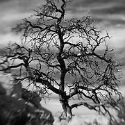Desert Oak Dramatic Sky - Lensbaby - Infrared Black & White