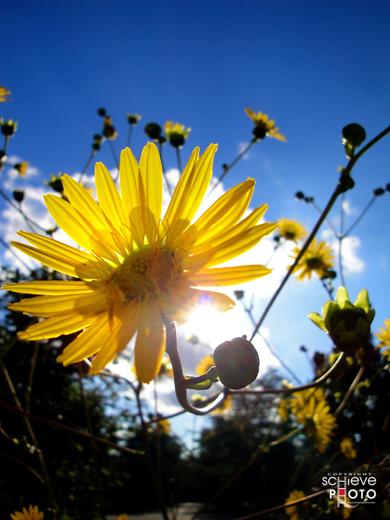 Big yellow flowers against a late day sun.