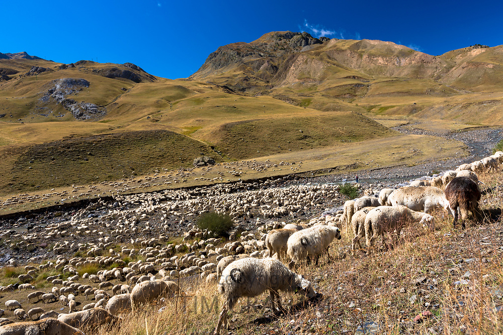 Mountain sheep and goats in Val de Tena at Formigal in Spanish Pyrenees mountains, Northern Spain