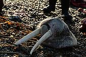 Walrus hunt. Chukotka, Russia